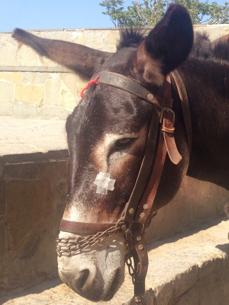 Donkey with a booboo
